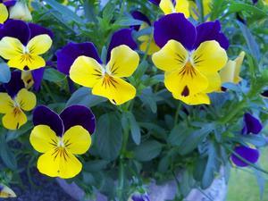 Ett mirakel att såna här vackra violer kommer upp ur jorden..