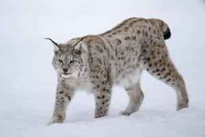 Sverige är landet där jakt har normaliserat våld mot djur, skriver Insändarskribenten E. Stjernswärd. Foto: Privat