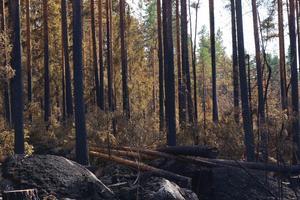 Bränd äldre tallskog vid Grötingsberget, som delvis redan fällts för att säkra brandgatan. Lågorna har i det här fallet gått relativt högt upp längs stammarna, men virket kan tas tillvara. Sotet får dock inte komma in i papperstillverkningen som i vanliga fall får en stor del av råvaran från sågverken och den ytved som inte kan bli brädor.
