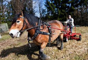 Hans Johansson och hans hästar har anlitats av Västerås stad för gräsklippning.