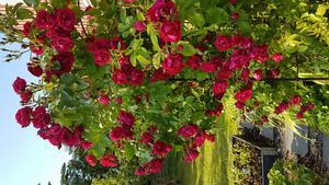 Flammentantz rosor i kvällssol på Vätö. Foto: Pia Burman-Lindelöw