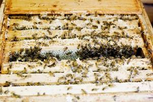 Trångbott. Matias Köping beräknar att det nu, i början av augusti, bor ungefär 50 000 bin i varje samhälle i kuporna vid Södra kolonin.