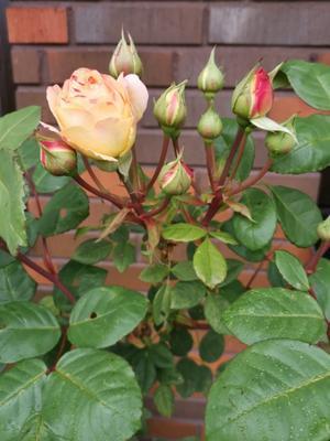 Årets sista rosor förevigade av Palle Björkman.