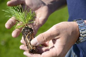 Även om man ersätter träden i ett kalhygge med små plantor, så orsakar nämligen skogsmaskinerna stora utsläpp av koldioxid från marken. Plantorna behöver 30 år för att binda detta extra utsläpp, skriver Lars Almström.