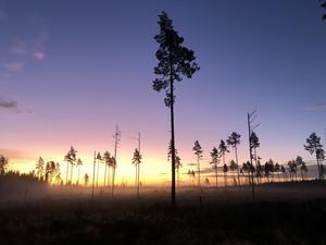 Vacker soluppgång en kylig morgon vid ett kalhygge utanför Bår, Möklinta Foto: Elisabeth Tillaeus