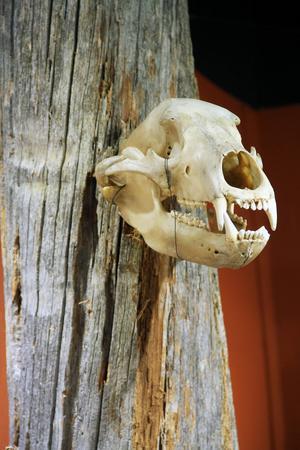 Hela stammen var fylld av björnskallar. Det finns exempel på det på finnskogen.