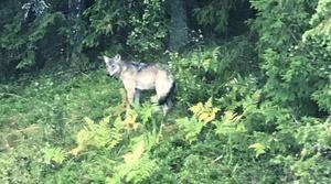 Den varg som misstänks ha rivit ytterligare en sällskapshund. Han är drygt ett år, kommer från Norge och är kullsyskon med en tik som uppehåller sig i Södertörn i södra Stockholm.