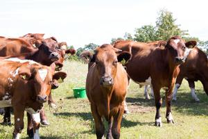 Korna är tyvärr inte de enda djuren som bor i hagen i Hedesunda. Här finns också gott om både mygg och bromsar.