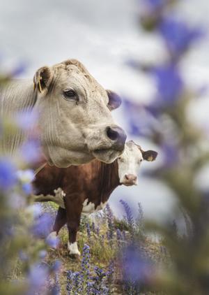 Betande kossor bidrar till att hålla landskapen öppna. Foto: Martina Holmberg / TT