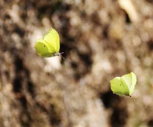 Citronfjärilarnas livliga dans i luften fångad i en ögonblicksbild. Foto: Mats Köbin