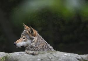 """""""Lupus sapiens"""" menar att rovdjuren i Sverige baktalas av jägarkårens röststarka lobbyister. Foto: Jonas Ekströmmer/TT"""