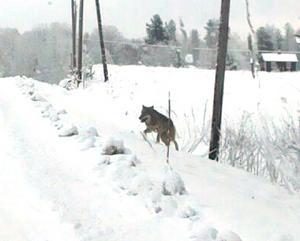 När Lola Carlsson och hennes 10-åriga dotter Milou var på väg till skolan i bil kom en av vargarna upp på vägen bara några meter framför bilen.