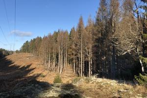 Varma stammar på friska träd, där barkborrarna kan borra sina gångar och lägga ägg, är perfekt för dem, berättar Peter Svedberg, Nynäshamns kommuns markförvaltare.  Här ett skogsparti i området Väggarö-Körunda. Foto: Peter Svedberg/Nynäshamns kommun