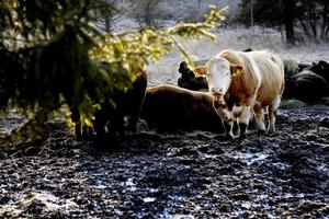Avelstjurarna går tillsammans i en separat hage förutom när betäckning ska ske.
