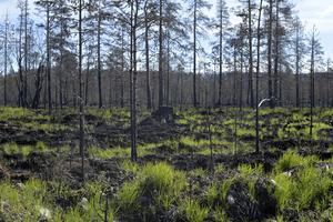 Ett år efter skogsbranden på Älvdalens skjutfält, grönskan kommer tillbaka.
