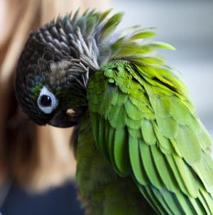 Papegojan Omid har kommit hem. Han hittades av Birgitta Berglund samma dag som han rymde och bodde sedan hos Cecilia Bratt i en vecka innan han återförenades med Parisa.