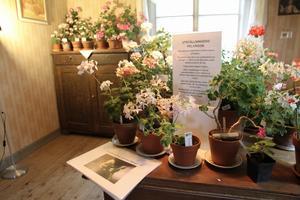 I rummet längst in i missionshuset hittade man de egna framkorsade pelargoniersorterna.