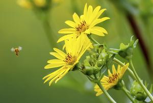 Jordbruket måste bli skonsammare för att bina ska skyddas, skriver dagens debattör. Foto: Thomas Warnackd/dpa via AP