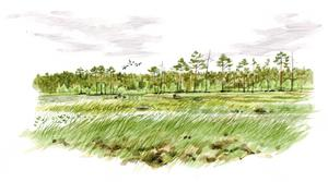 Här ett litet exempel på den lilla konstnärliga frihet som bjuds en naturillustratör: Jonas har lagt till en liten grupp fåglar strax ovanför skogsbrynet, för att ge bilden liv.