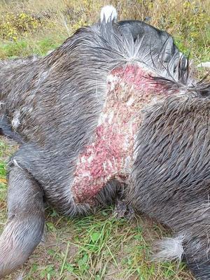 Så här har en del älgar påträffats i skogen. De var såriga och pälsen var borta. Det finns misstankar om att de har drabbats av en smittsam och dödlig sjukdom: CWD, Chronic wasting disease, eller Älvsborgssjukan. Det skulle också kunna vara MWS, Moose wasting Syndrome.