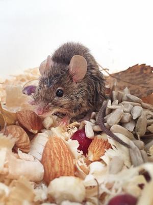 Studier har visat att människor kan utläsa olika grader av smärta i ansiktsuttrycket hos möss - med en överensstämmelse på hela 97 procent. Just den här musen mår dock fint efter att ha blivit räddad ur en vattenhink.