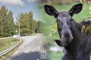Det var på Tvetavägen vid korsningen Pärlängsvägen som Josefin stötte på den aggressiva älgen. Älgen på bilden är inte den älg som avses i artikeln. Foto: Google Maps/TT