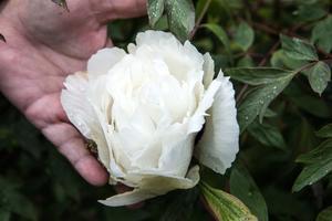 Trädgårdsamatörernas växtmarknad anordnas traditionsenligt i samma veva som pionerna prunkar i olika färger i Svandammsparken i Nynäshamn.