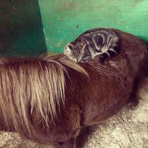 269) Katten Tiger älskar livet som stallkatt! Här har han lagt sig tillrätta på Ebba och ligger mer än gärna där och myser en längre stund. Båda två myser lika mycket! Foto: Sofie andersson