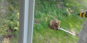 Björnen rev omklull fågelbordet ute på gården vid torpet hos Gun-Marie och Sören Sundberg. Foto: Gun-Marie Sundberg