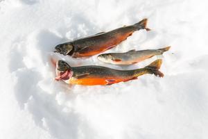 """""""Det är en smörgåsfisk"""", sa Astrid Lindström  om den minsta av rödingarna som hon drog upp."""