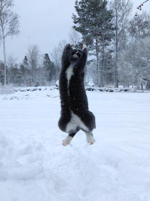 74) Eskil, snart ett halvår gammal lär sig snöbollshopp av sin storebror Ivar. En bit kvar till en fulländad spänst men får höga nybörjarpoäng! Foto: Anja Stigsdotter