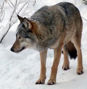 Förvaltningsrätten går på länsstyrelsens linje och har beviljat skyddsjakt på två vargar i länet under oktober. Foto: Arkivbild/AP