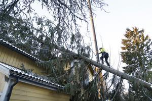 Det är inte bara att sitta i en förarhytt när man är mobilkranförare. För Lasse Eriksson ingår det aockså att klättra upp på träd för att fästa kedjor kring kronan.