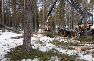På plats i Kårböle-skogen får den här skördaren visa vad den går för. Om den ska bli certifierad får det inte skilja mer än plus minus fyra millimeter på diametern och plus minus två centimeter på längden mellan skördarens mätning i aggregatet och förarnas kontrollmätning.