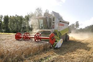 Skördetröskorna går från morgon till kväll på Berga gårds 240 hektar odlingar.