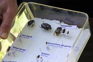 Mats Jonsell hade med sig torkade exemplar av ett antal skalbaggsarter. Längst upp till vänster den sällsynta svarta guldbaggen.