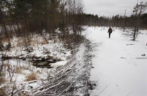 All skog i närheten och i själva dammen har redan dött. Ytan på fördämningen är cirka en hektar, alltså 10.000 kvadratmeter. Kurt Olausson har aldrig sett en så stor bäverdamm.