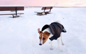 Jack Russel-tiken Ella har precis varit på skidtur vid Spikbodarna. Matte Åsa Edin säger att det är precis som för människor viktigt för hundar att hålla musklerna varma efter ansträngning.