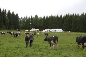 När Anna Walfridsson ropar på kossorna kommer de, en efter en.
