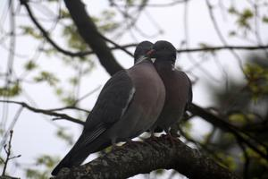 Detta kärlekspar återkom flera kvällar i rad för att gosa i eken på våran tomt.