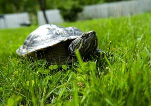 """Krabat. """"Sköldis"""" är en målmedveten krabat som snabbt tar sig fram över gräsmattan."""