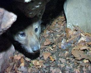 Ett okänt antal vargar uppges ha rymt från Skånes djurpark. Bilden visar en vargvalp som föddes i djurparken förra sommaren.