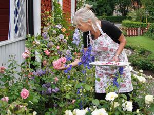 Birgitta Fagerlund väljer ut rosenblad som både ska vara dekoration och smaksättare. Olika sorter har inte bara olika färg, utan även olika smak.