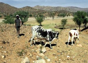 Bete i Eritrea. En pojke har just tagit ut familjens två oxar för att ge dem bete i en torr flodbädd på gränsen till Etiopien. Klockan är 11. Solen steker i det torra landskapet. Arkivbild: Lars Ströman