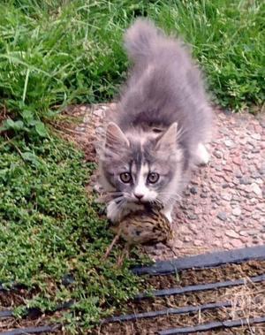 322) Katten Astrid fångar middagen själv. En bästämd fröken med väldigt mycket egen vilja. Foto: Pernilla Persson