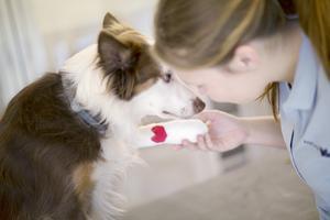 Trasiga julgranskulor kan innebära att hunden eller katten får skärsår på en eller flera tassar. Foto: Anicura