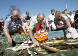 Feta fiskar. Trollingfiske är knappast en publiksport. I varje fall inte för de landkrabbor som rustade med plastkassar småfajtades om de rejäla gäddor och gösar som tävlingsfiskarna trollat upp ur Norra Barken.
