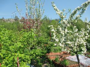 Fruktträden står i full blomning i väntan på pollinering