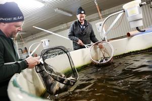 De största fiskarna på fiskodlingen i Valsjöbyn är rödingar som väger omkring 250 gram. Mats Andersson och Arne Johansson besöker odlingen dagligen för att se att förhållandena för fisken är optimala.