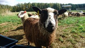 Vill vi minska klimat- och miljöpåverkan så behöver vi välja kött med omsorg. Gräsbetande djur som får vinterfoder från egen ekologisk odling är riktigt bra köttval, på många sätt. FOTO: Privat